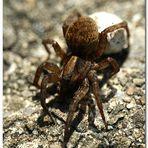 Wer kennt diese Spinne?