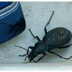 ??? Wer kennt diesen Käfer ???