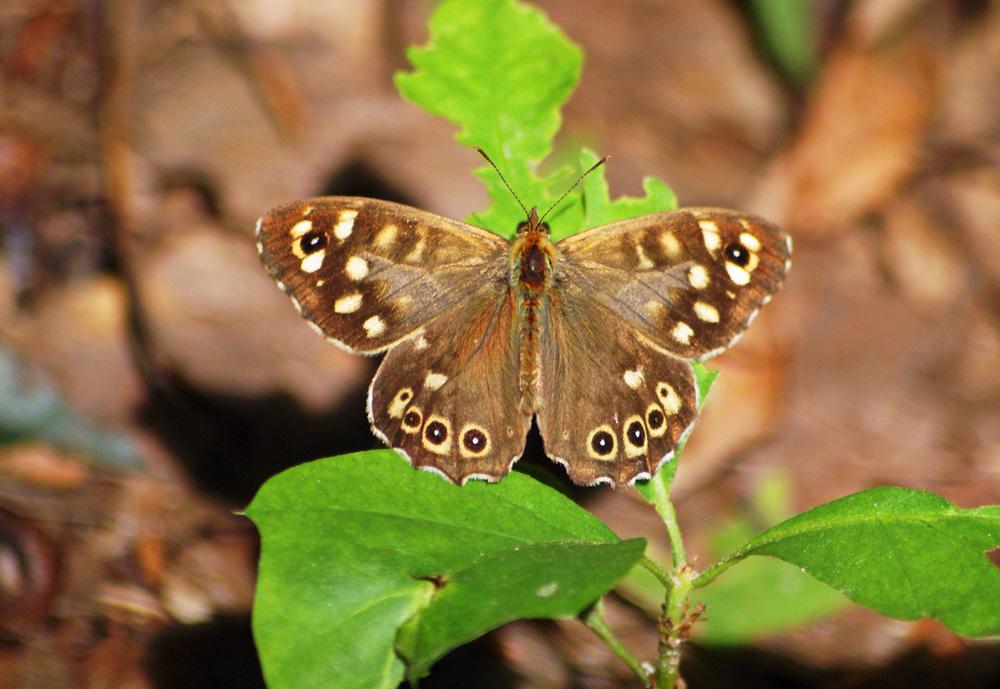 Wer kennt diesen Schmetterlng????