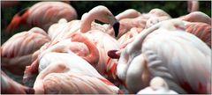 ... wer stört den Flamingoschönheitsschlaf ? ...