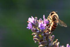 wer wie die Biene wäre...