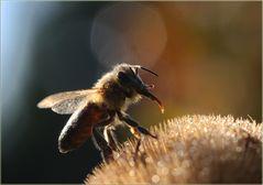 Wer wie die Biene wäre....