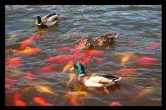 Werden Enten mit Goldfischen gefüttert?