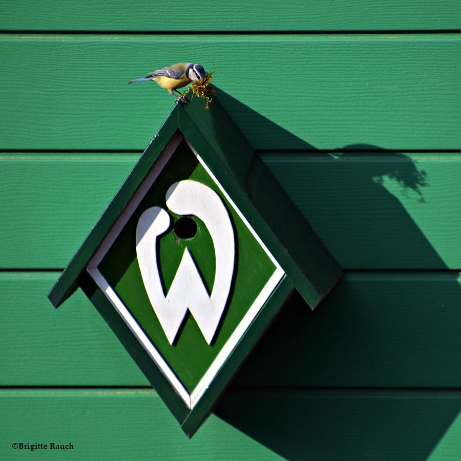Werder-Meise