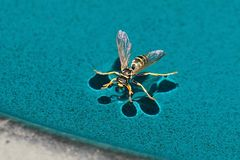 Wespe als Wasserläufer