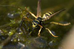 Wespe am Teich