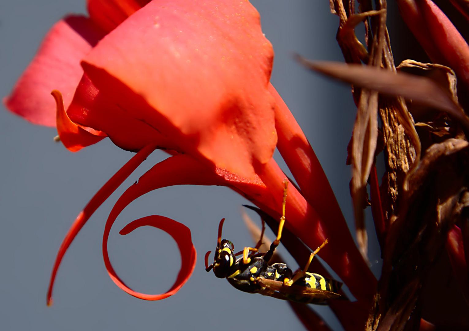 Wespe an Cannablüte
