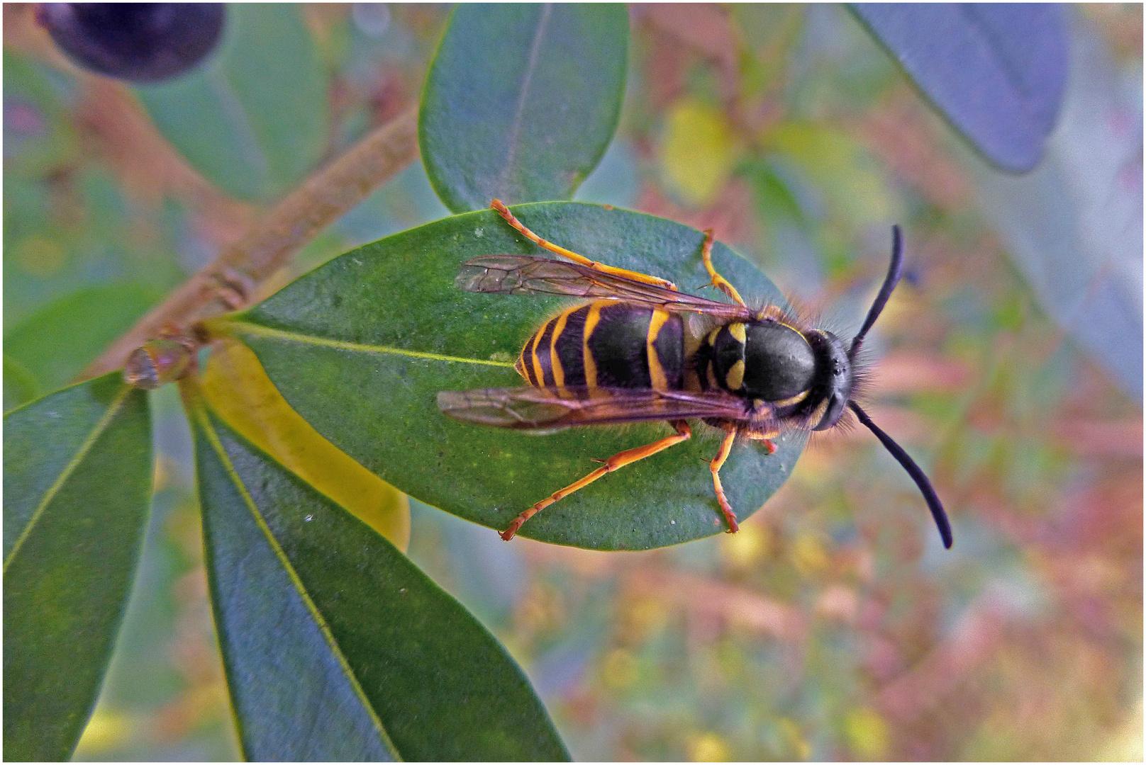 Wespe auf Blatt (2)