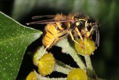 Wespe auf Efeu-Blüte