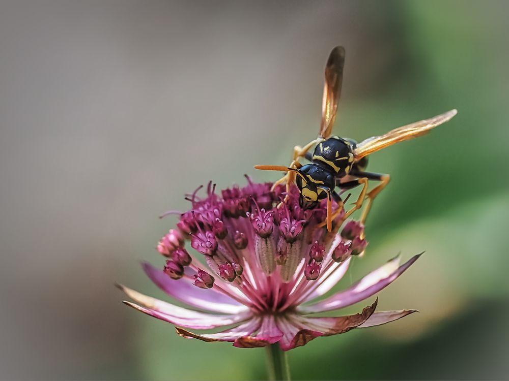 Wespe auf  großer Sterndolde