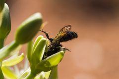 Wespe auf Nahrungssuche am reich gedeckten Tisch des Namaqualands