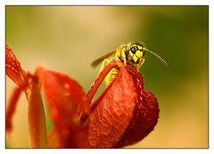 Wespe auf roten Blättern