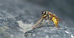 Wespe frisst Köcherfliegenlarve (trichoptera).  - Cette guêpe mange und larve de trichoptère.