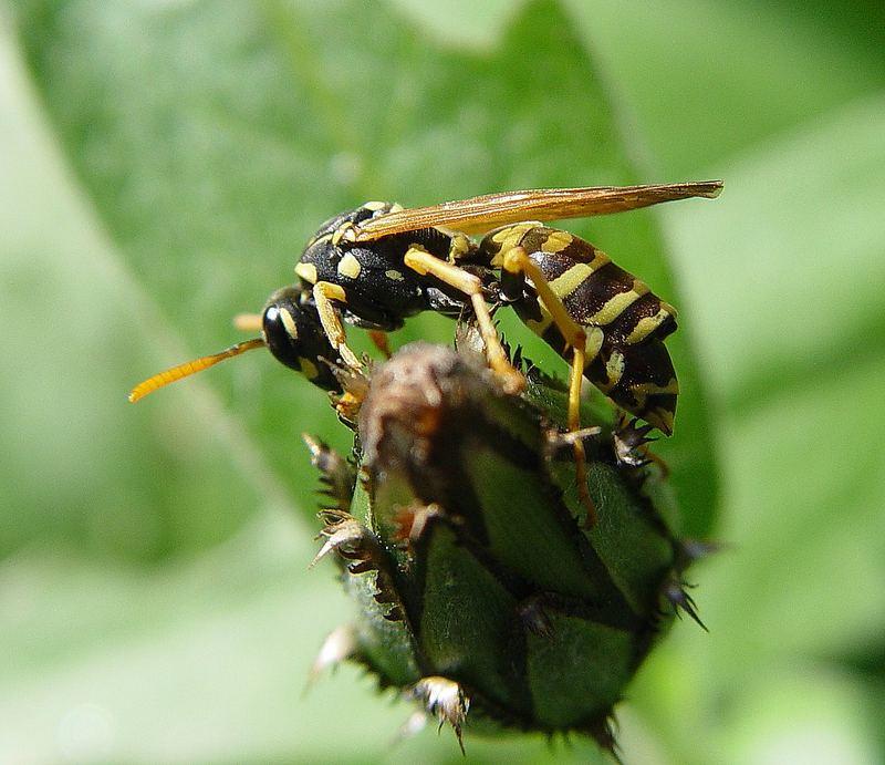 Wespe im Garten