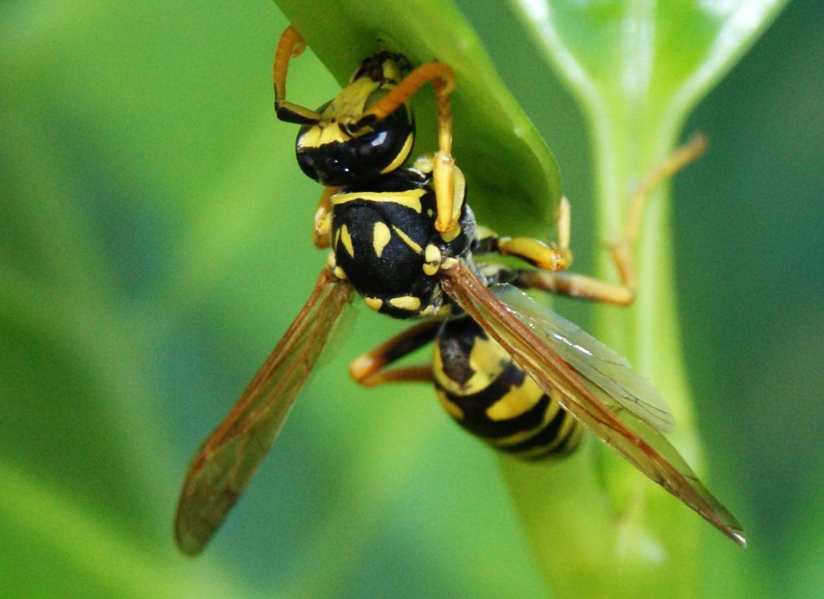 Wespe im Kirschloorbeer