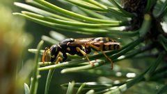 Wespe in Kiefer