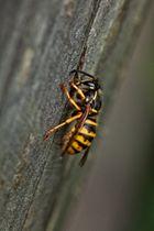 Wespe in Schräglage