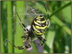 Wespe oder Spinne?