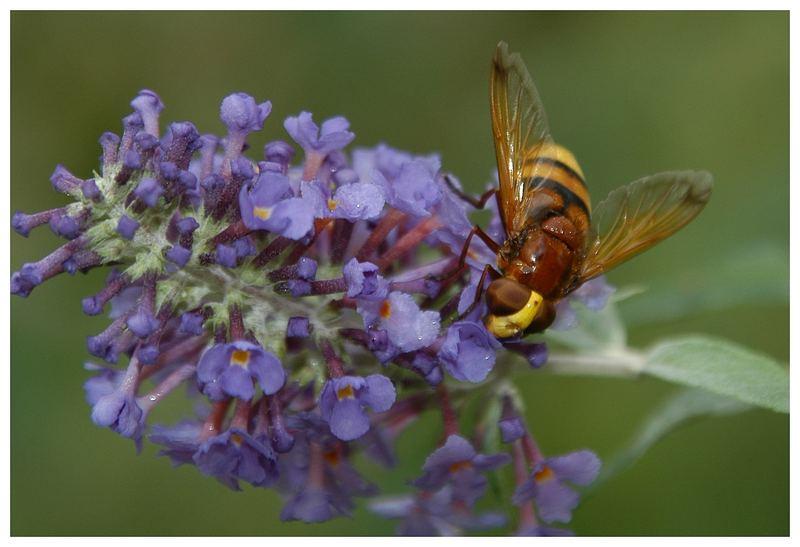 Wespe und Flieder