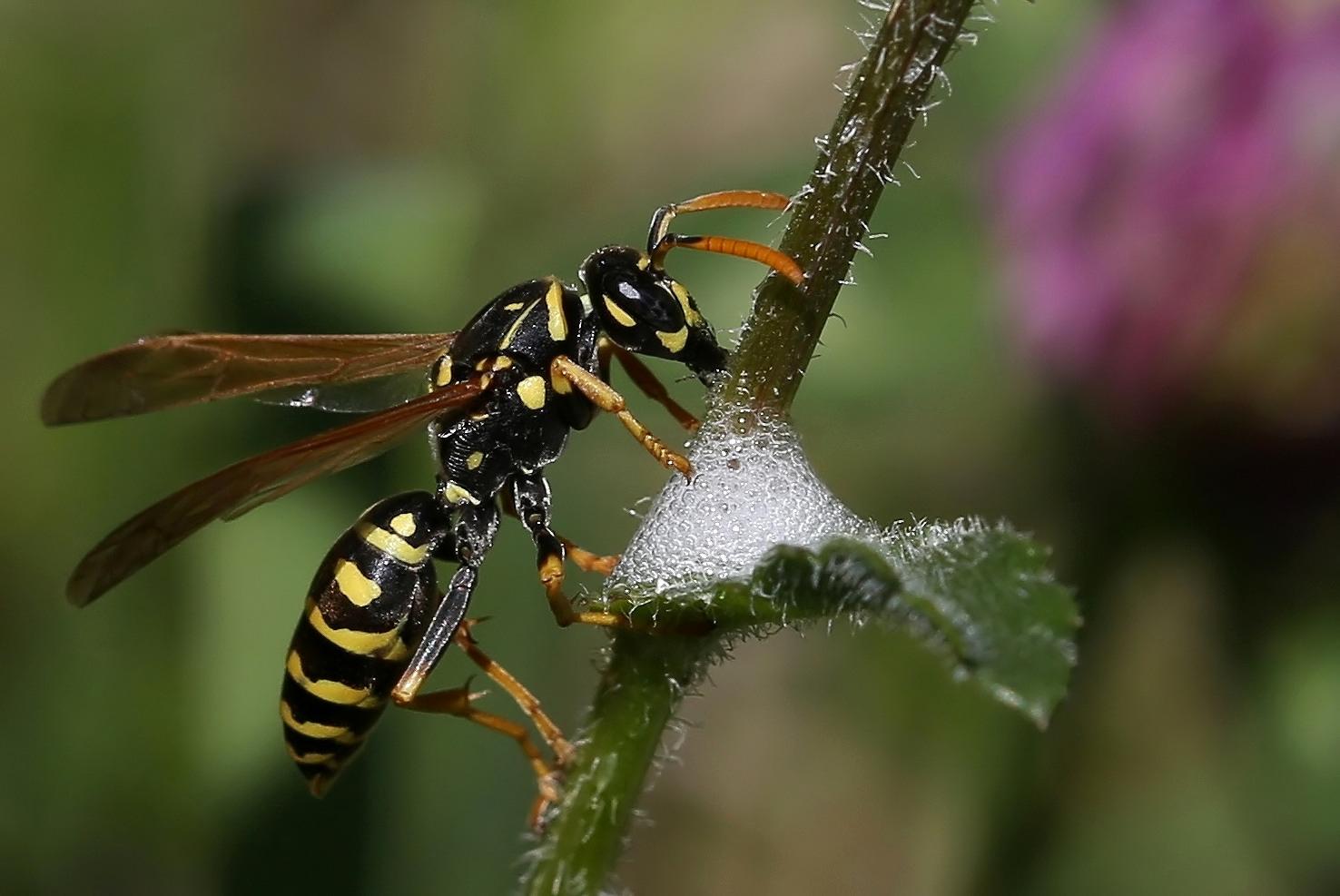 Wespe und Schaumzikade