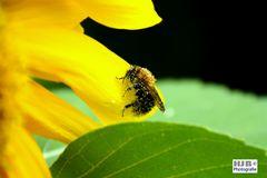 Wespe voller Blütenstaub