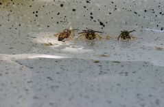Wespen im Vogelbad