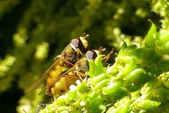 Wespen-Moderholzschwebfliege