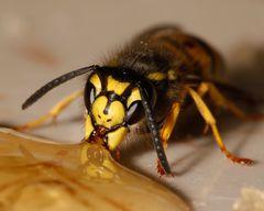 Wespen sind doch süß