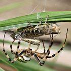 Wespen Spinne beim Mittagessen