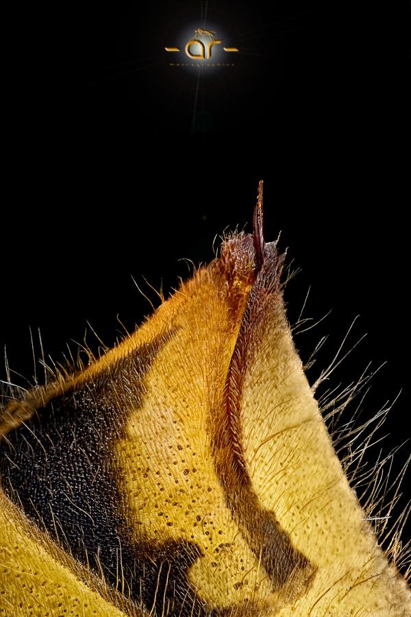 Wespen stachel