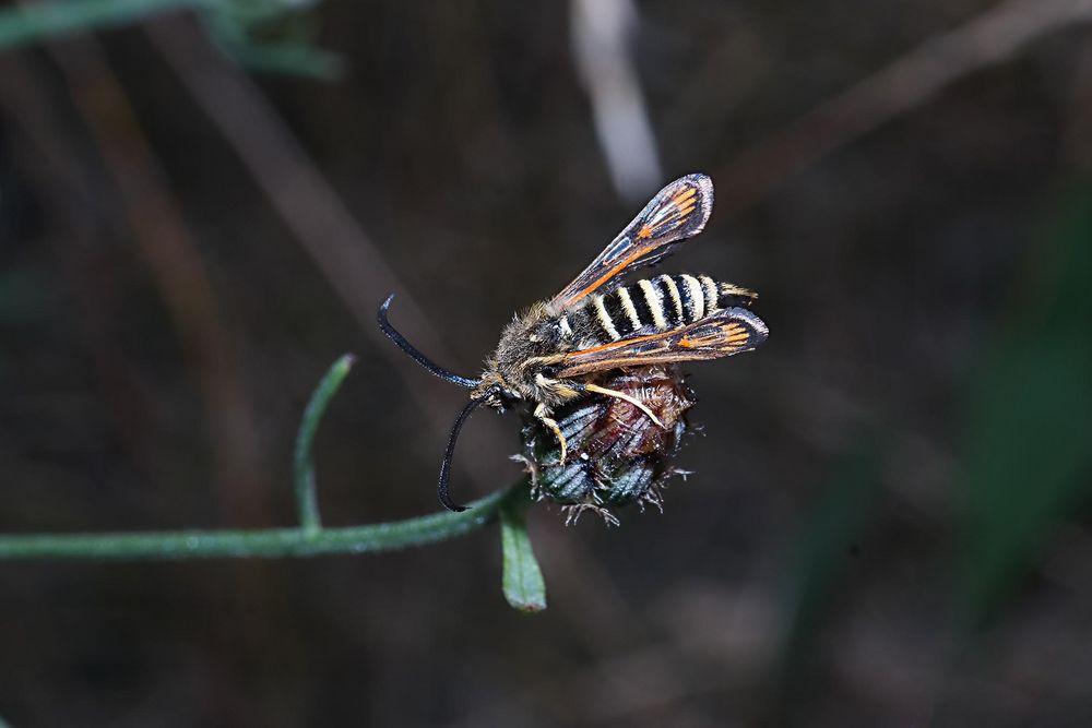 Wespenglasflügler - Draufsicht