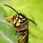 Wespenkönigin der Deutschen Wespe (Paravespula germanica)
