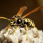 Wespenkönigin