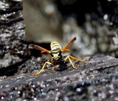 Wespenkönigin, eine Gallische Feldwespe (Polistes dominula), auf klitschnassem Felsen! Bild 1 *