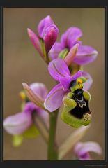 Wespenragwurz Prachtsexemplar