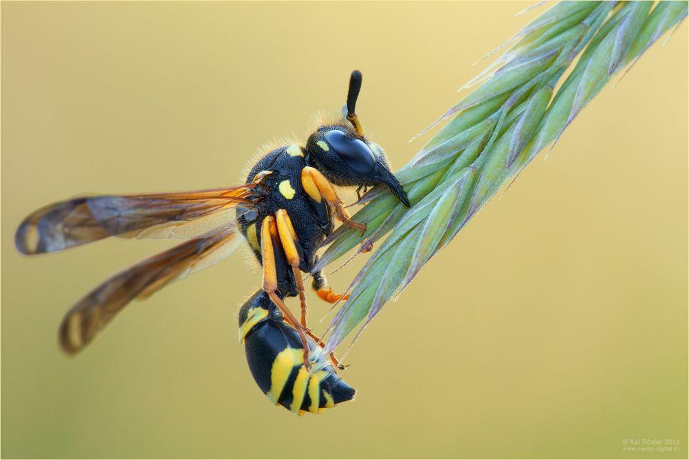 Wespenschlaf