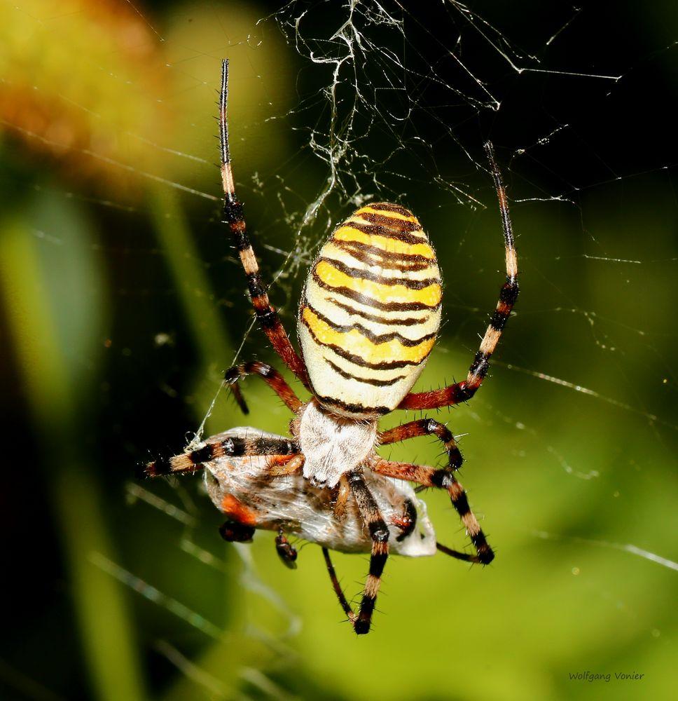 Wespensinne beim Nahrungsvorrat verpacken