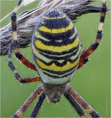 wespenspinne (argiope bruennichi) II ....