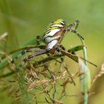 Wespenspinne (Argiope bruennichi) - Weibchen