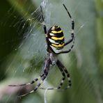 Wespenspinne (Argiope bruennichi), Weibchen (I)