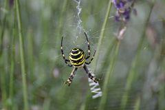 Wespenspinne im Lavendel
