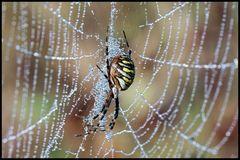 Wespenspinne im Morgentau 1