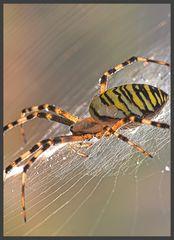 Wespenspinne im Morgentau