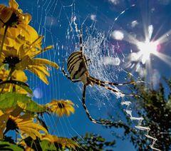 Wespenspinne im starken Gegenlicht!