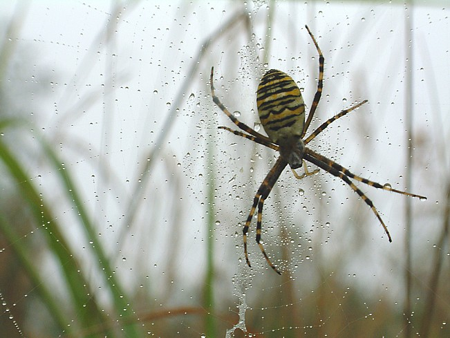 Wespenspinne im verregneten Netz