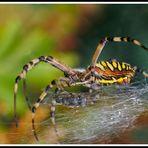 Wespenspinne in Aktion