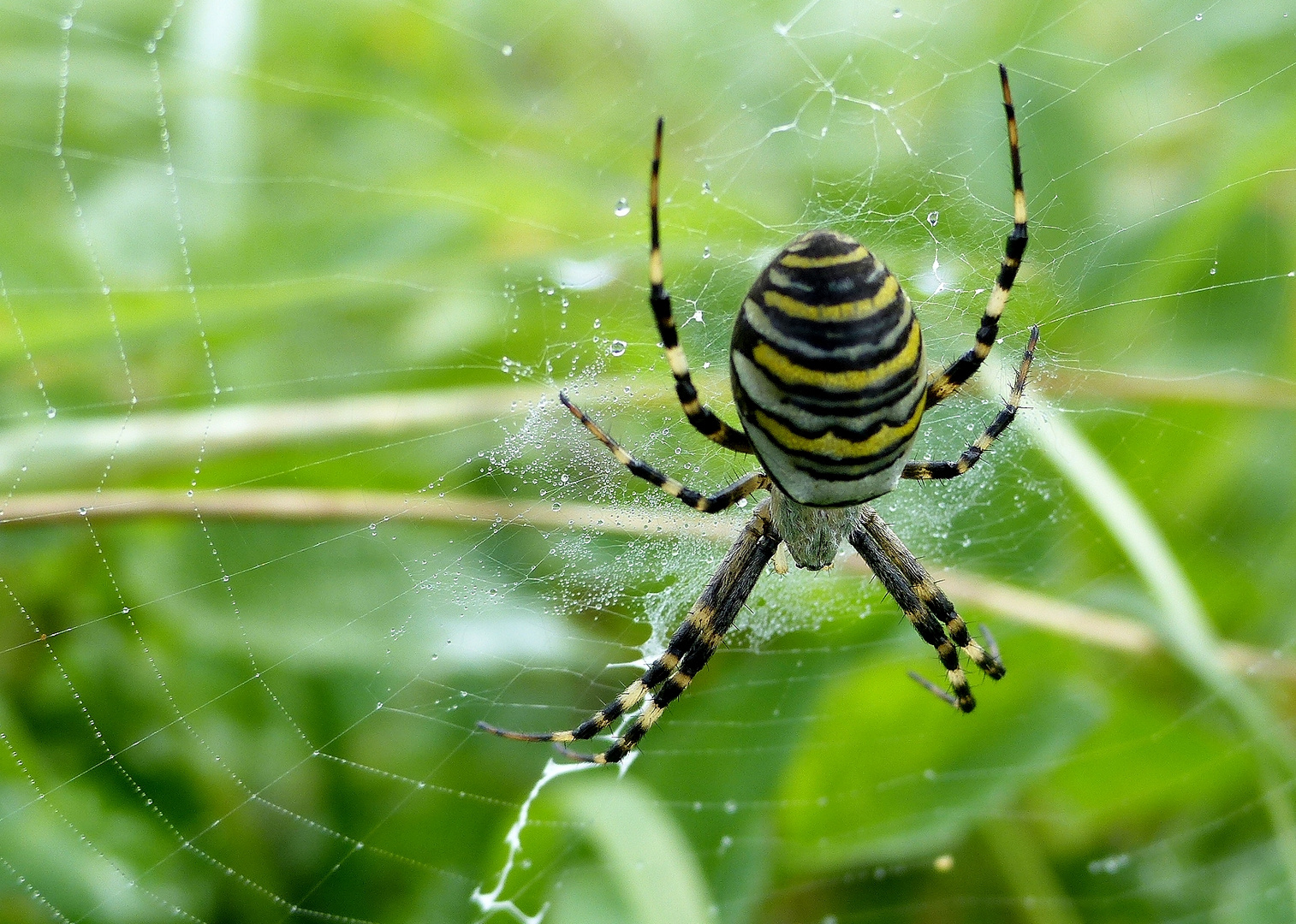 Wespenspinne in ihrem Net am frühen Morgen ,