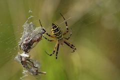 Wespenspinne mit 3(!) Libellen
