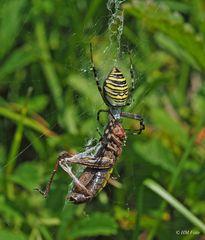 Wespenspinne mit erbeuteter Heuschrecke