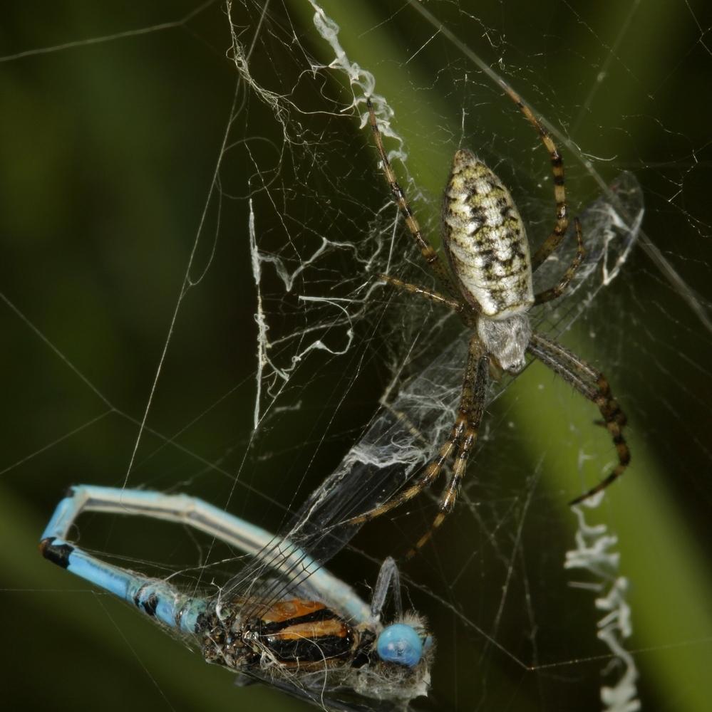 Wespenspinne mit unbek. Libelle